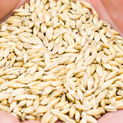 barley for beer