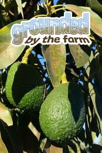 virtual avocado farm tour