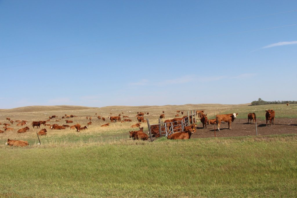 cattle on the North Dakota Prairie