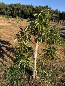 young avocado tree