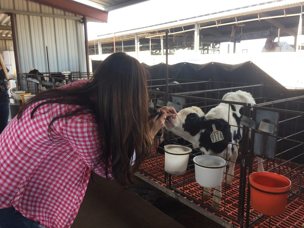 a dairy calf