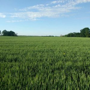 soft red winter wheat in Ohio