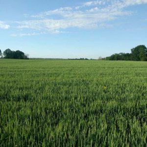 soft red winter wheat in Ohio