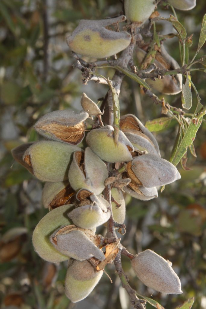 almonds on the tree clustered
