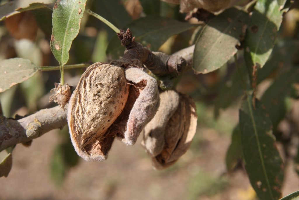 almonds on the tree hull and shell