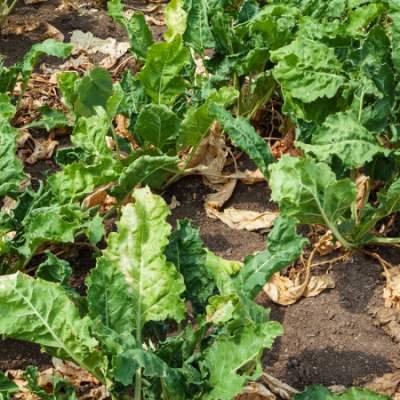 growing sugar beets