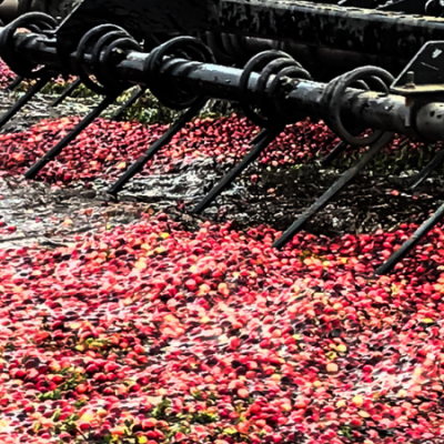 raking cranberries for harvest