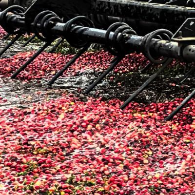 raking cranberries for harvest