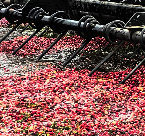 Not a Stereotypical Cranberry Farmer But Destined to Join the Family Business