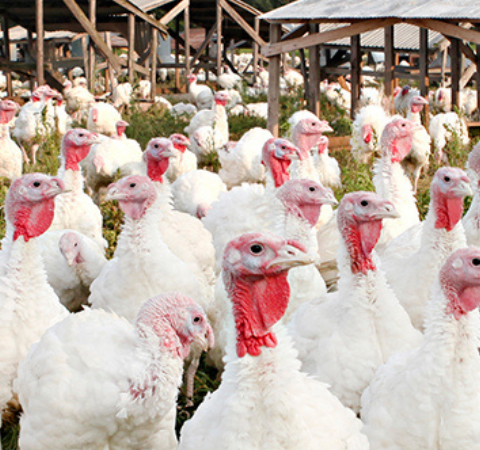 Turkey Farmers Are Deep Into the Holiday Rush