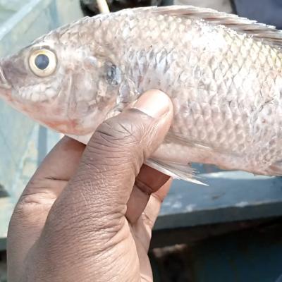 Ugandan fish farm