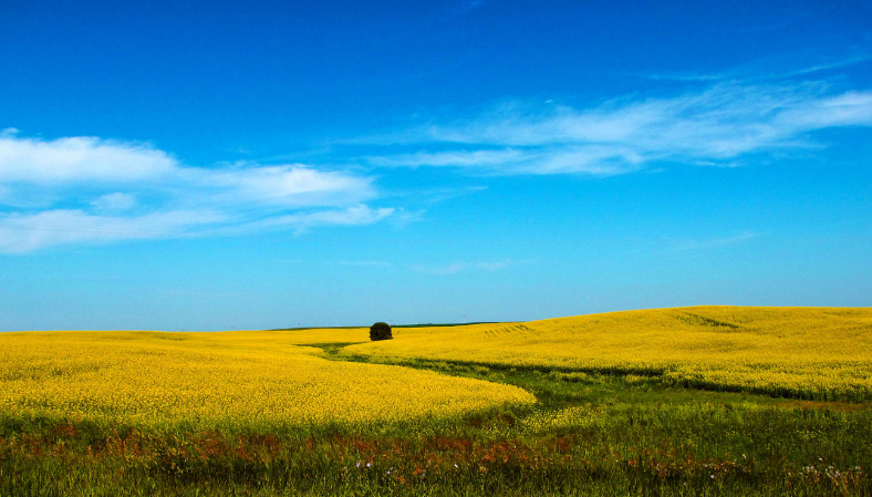 canola - fields of bright yellow flowers