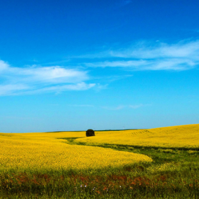 canola fields -- crop with bright yellow flowers
