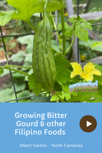 growing bitter gourdd & Filipino foods